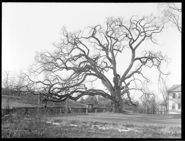 Ulmus americana Massachusetts (Framingham)