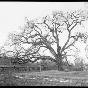 Ernest Wilson's New England Trees