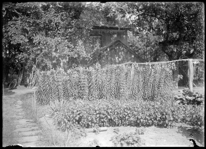 Annie E. Emerson, tiger lillies