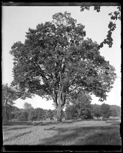 Elm tree near standpipe