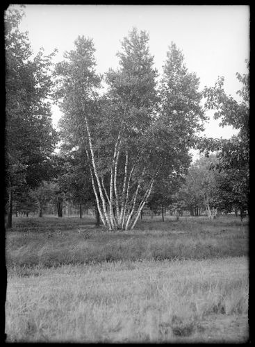 11 white birches, S. P. Terrace