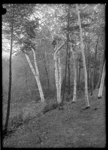 Forest Park, birches