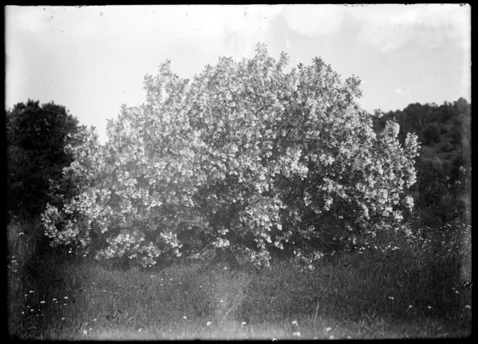 Fringe bush, Forest Park