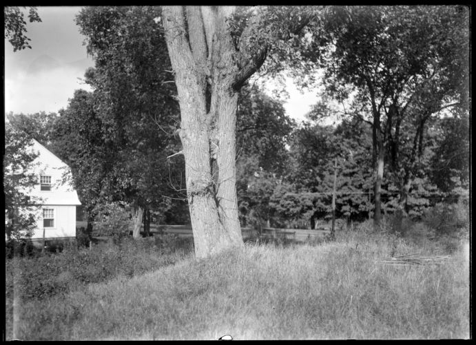 Tree, siamese twins, M. Colton place