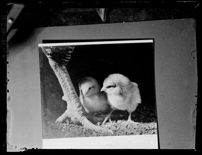 2 chicks
