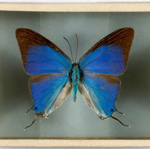 Harry C. Belcher Lepidoptera Collection