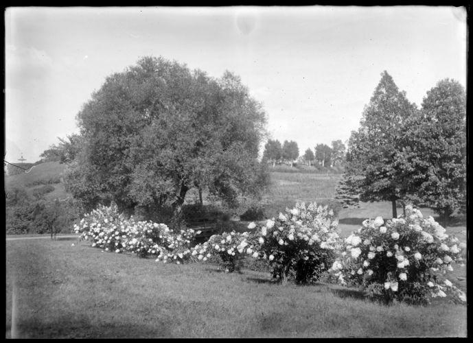 Hydrangeas, Forest Park