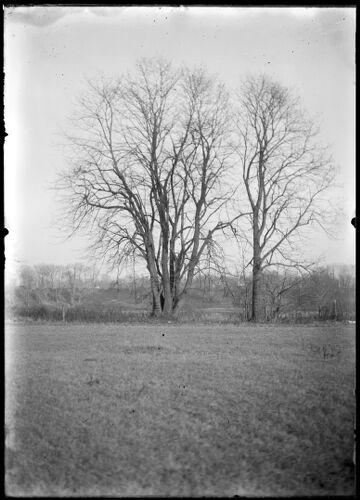 Tree, east of rail road on Meadow Road