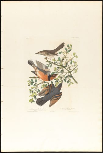 1. Mountain mocking bird, male. 2. 3. Varied thrush, male & female