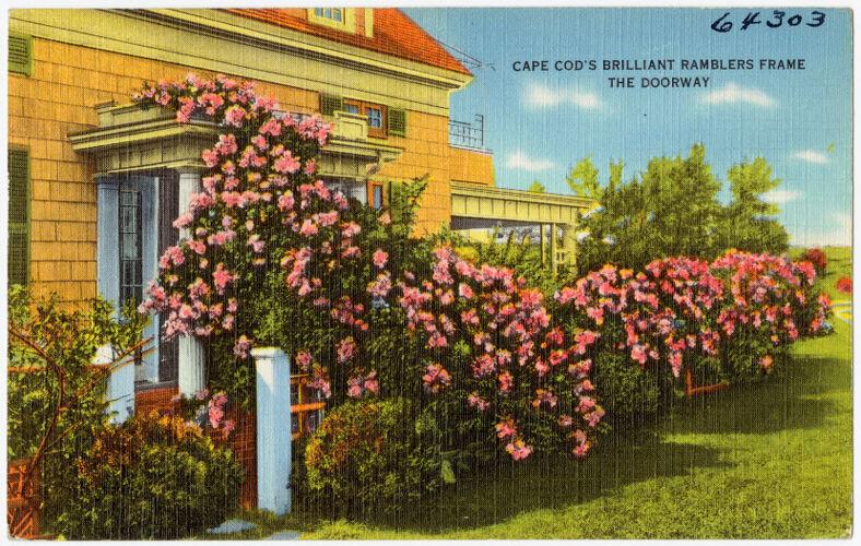 Cape Cod's brilliant ramblers frame the doorway