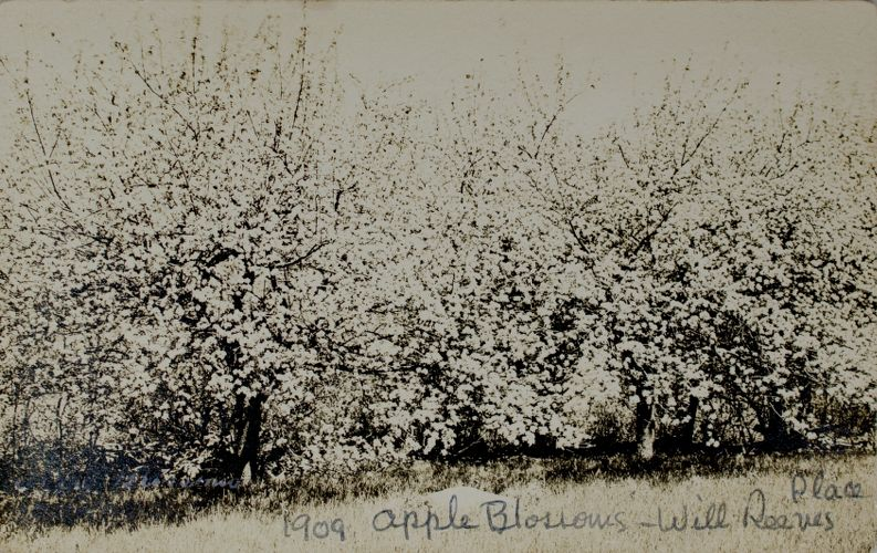Apple blossoms, Will Reeves place