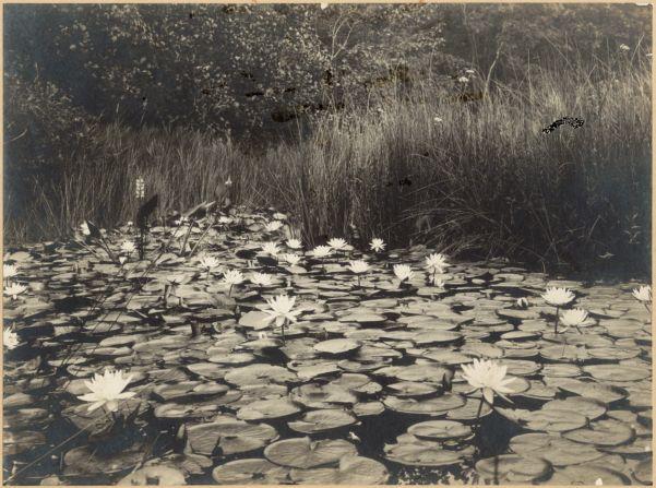 Pond lilies, Ponkapoag Pond