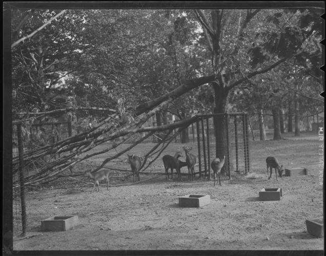 Branch down in animal pen, Franklin Park Zoo, Hurricane of 38